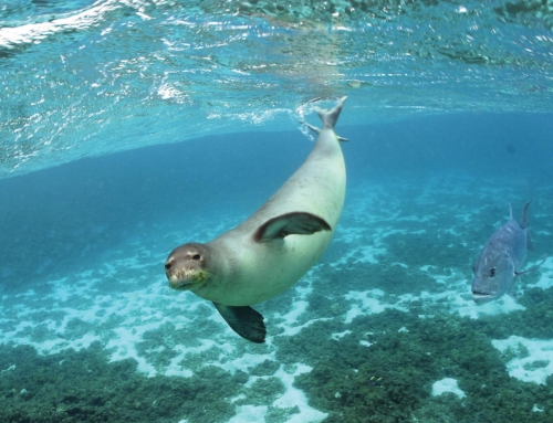 La foca monaca sta ripopolando alcune coste del Mediterraneo